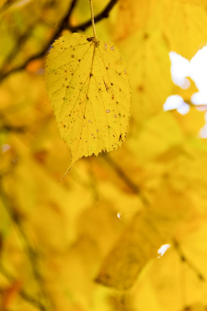 Folha amarela de outono na árvore Foto Premium