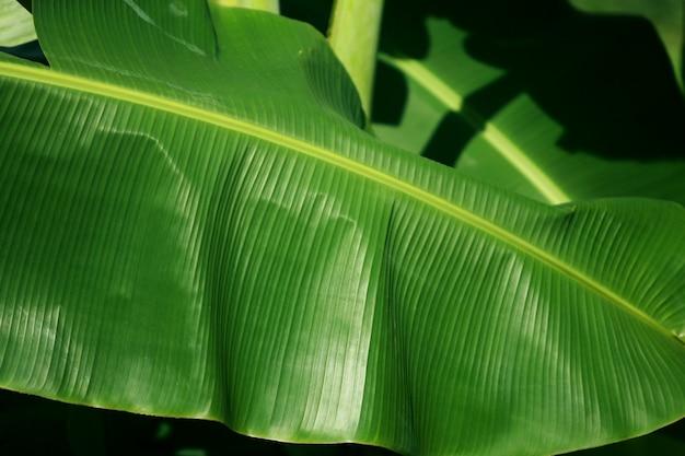 Folha de bananeira verde na bananeira, close-up Foto Premium