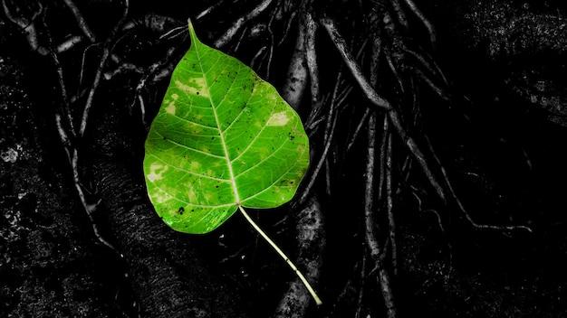 Folha de bo verde na raiz da árvore após o dia chuvoso Foto Premium