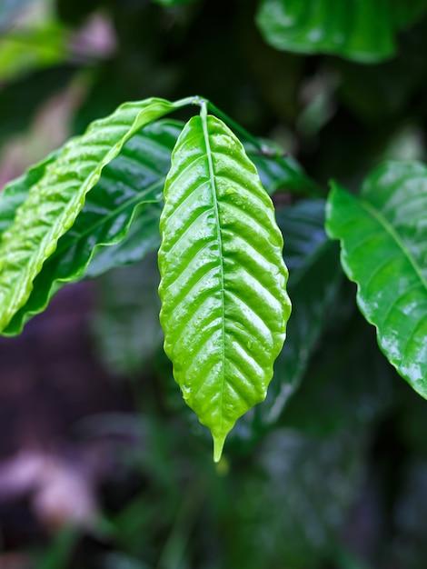Folha de café robusta com gota de orvalho no jardim de café Foto Premium