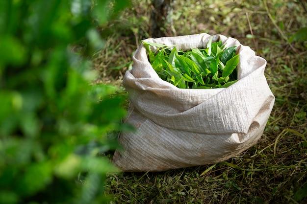 Folha de chá verde após a colheita no saco na terra. Foto Premium