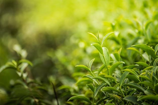 Folha de chá verde na fazenda de manhã Foto Premium