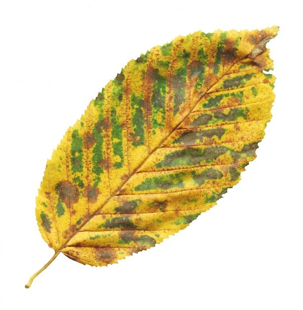 Folha de outono de olmo isolada no branco Foto Premium