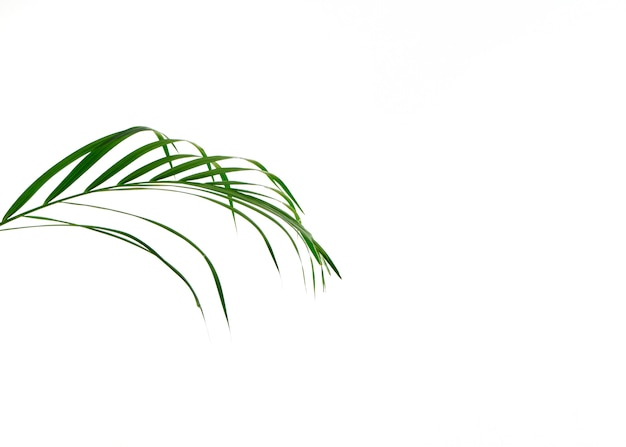 Folha de palmeira tropical em fundo branco Foto Premium