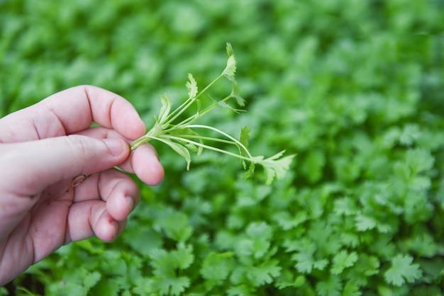 Folha de planta de coentro na mão escolhendo na parede da natureza graden - coentro verde deixa vegetais para ingredientes alimentares Foto Premium