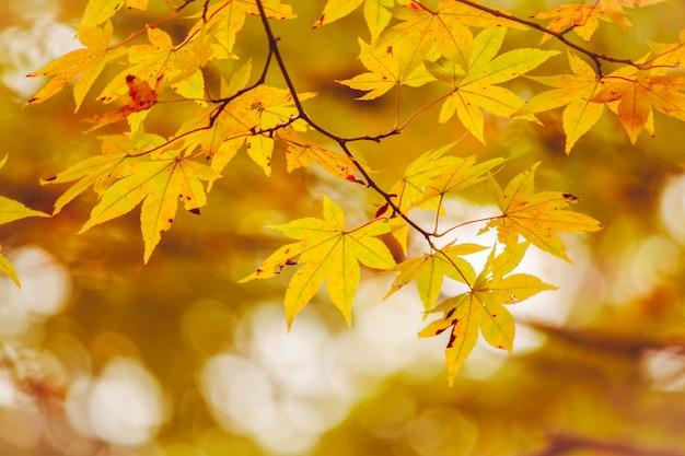 Folha de plátano, galho de árvore no outono bonito Foto Premium