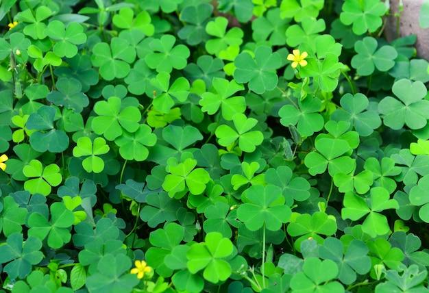 Folha de trevos verdes com pequena flor amarela Foto Premium