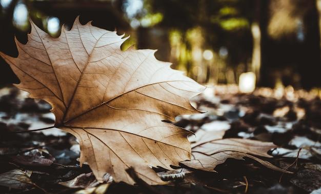 Folha marrom seca do bordo no primeiro plano no assoalho da floresta com fundo borrado Foto Premium