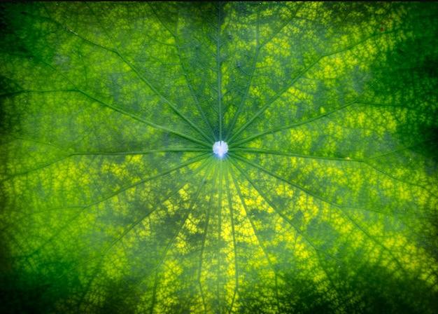 Folha verde de lótus no lago escuro na natureza Foto Premium