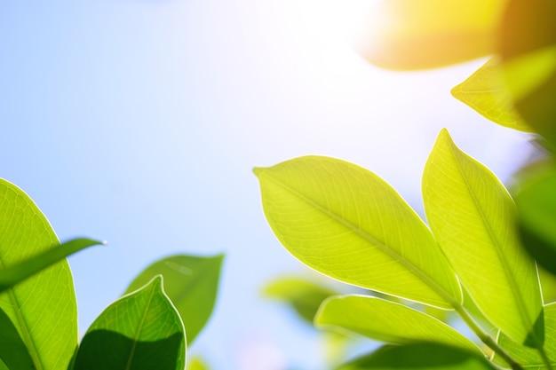 Folha verde fresca no fundo borrado das hortaliças. / natural folhas verdes bokeh de fundo. Foto Premium