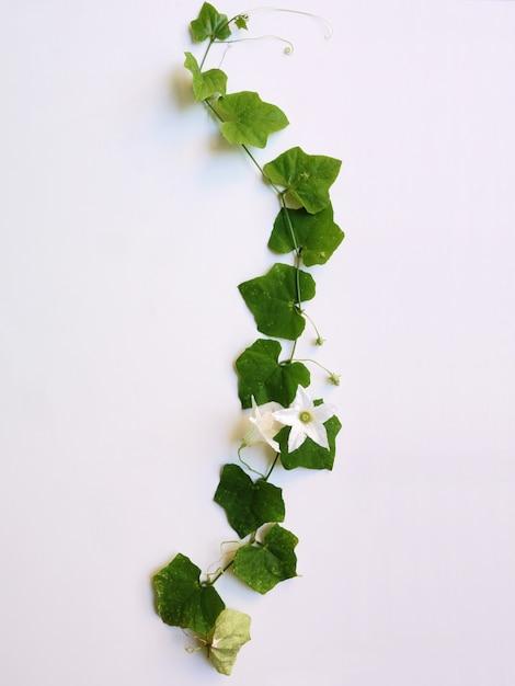 Folha verde, isolado no fundo branco Foto Premium