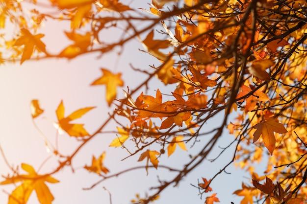 Folhagem de outono, folhas de bordo laranja velhas, folhagem seca de árvores, foco suave, temporada de outono, mudança de natureza, luz do sol suave e brilhante Foto Premium