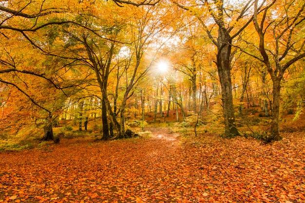 Folhagem em monti cimini, lazio, itália. cores de outono em madeira de faia. faia com folhas amarelas. Foto Premium