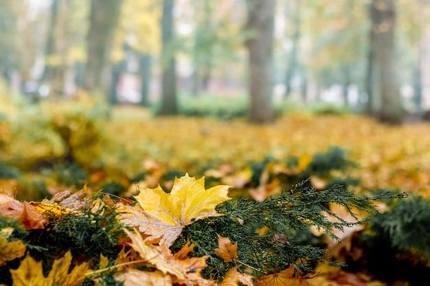 Folhas amarelas fecham no parque da cidade. dia de outono na floresta Foto Premium