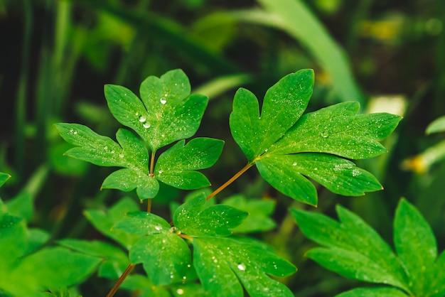 Folhas bonitas do verde vívido do dicentra com close-up das gotas de orvalho com copyspace. vegetação pura, agradável e agradável com gotas de chuva à luz do sol. pano de fundo de plantas texturizadas verdes em tempo de chuva. relva. Foto Premium