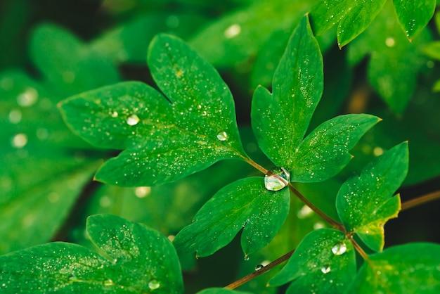Folhas bonitas do verde vívido do dicentra com close-up das gotas de orvalho com espaço da cópia. vegetação pura, agradável e agradável, com gotas de chuva à luz do sol. pano de fundo de plantas texturizadas verdes em tempo de chuva. relva. Foto Premium