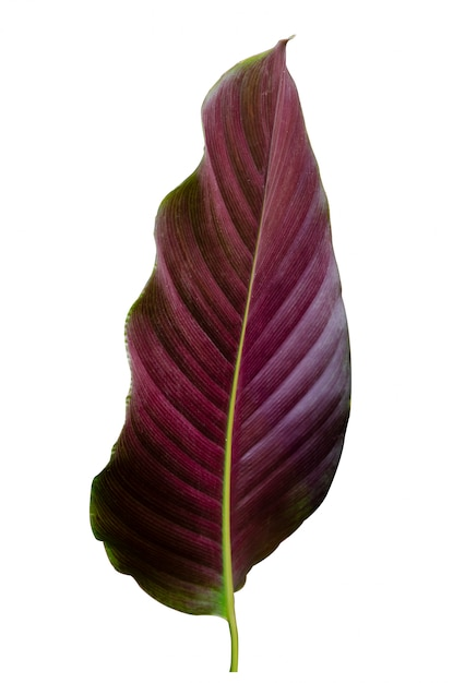 Folhas calathea ornata pin listra fundo branco isolado Foto Premium