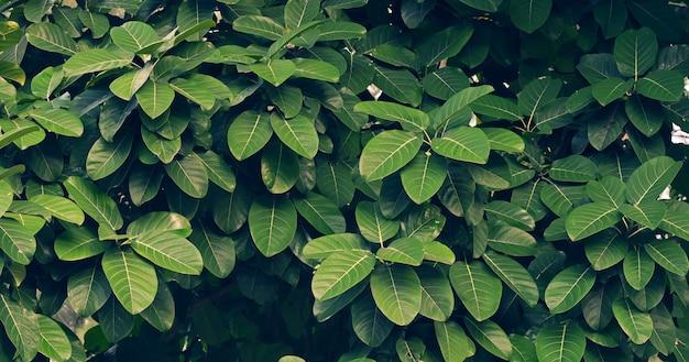 Folhas calathea ornata pin stripe fundo azul Foto Premium