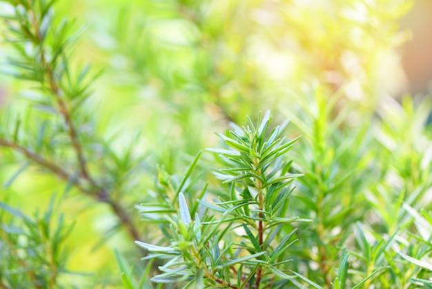 Folhas de alecrim planta no jardim Foto Premium