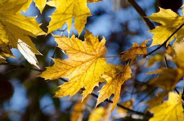 Folhas de bordo amarelas brilhantes do outono sob a luz solar. fundo sazonal Foto Premium