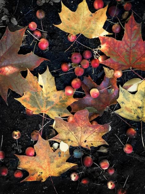 Folhas de bordo coloridas e maçãs vermelhas Foto Premium