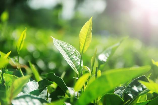 Folhas de chá fresco e sol da manhã Foto Premium