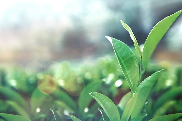 Folhas de chá saudável Foto gratuita