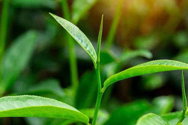 Folhas de chá verde em uma plantação de chá na manhã Foto Premium