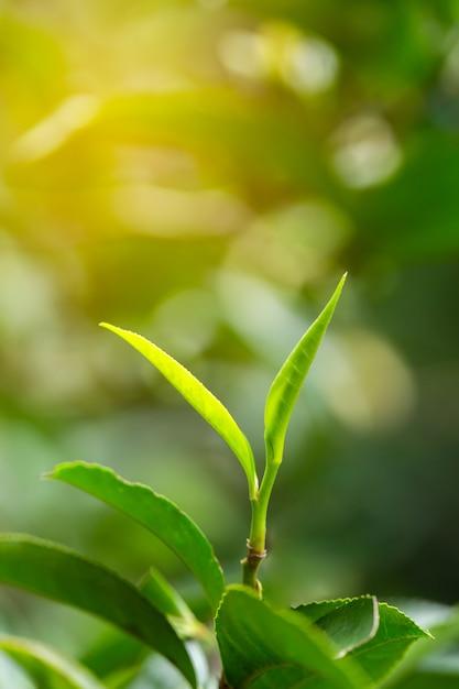 Folhas de chá verde frescas do close up. Foto Premium