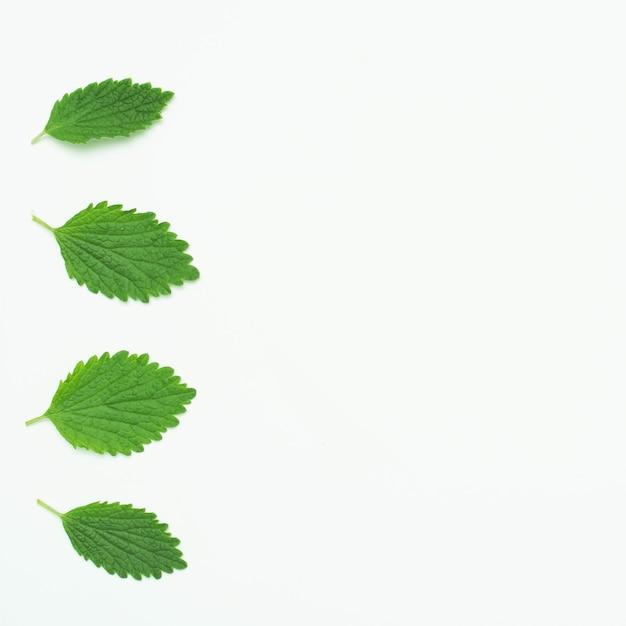 Folhas de erva-cidreira verde dispostas em uma linha sobre o pano de fundo branco Foto gratuita