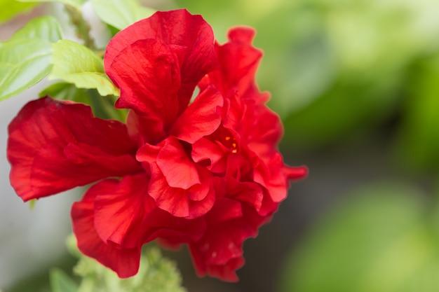 Folhas de flor vermelha flor em um jardim close-up Foto Premium