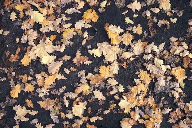 Folhas de outono amarelas estão no chão. Foto Premium