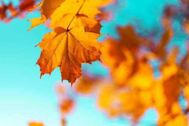 Folhas de outono amarelo sobre fundo de céu azul. conceito de outono dourado. Foto Premium