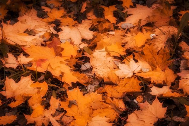Folhas de outono caídas Foto Premium