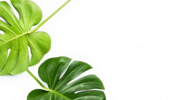 Folhas de plantas monstera em branco Foto Premium
