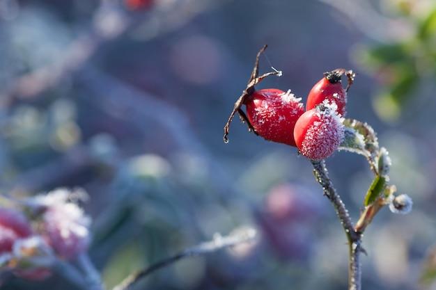 Folhas de rosa mosqueta e grãos com gelo. um arbusto de rosa selvagem com gelo. primeira geada no outono. hoarfrost em ramos de rosa brava. Foto Premium