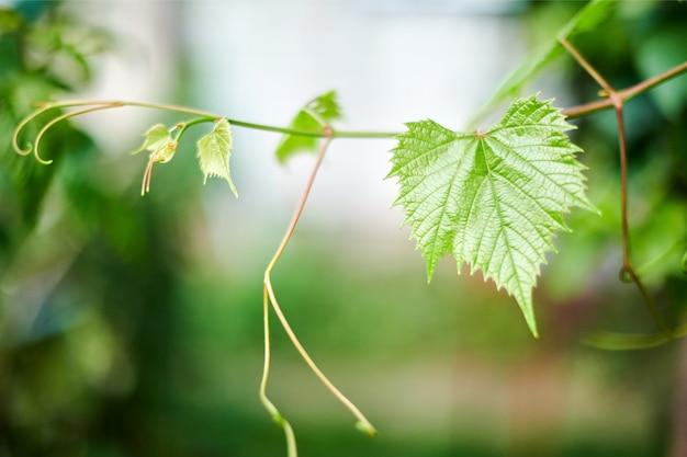 Folhas de uva em vinhedo. folhas verdes da videira no dia ensolarado de setembro. logo colheita de outono de uvas Foto Premium