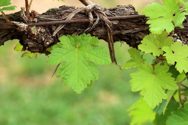 Folhas de uva na vinha Foto Premium