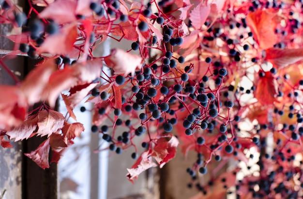 Folhas de uva vermelha selvagem e bagas roxas. fundo brilhante linda queda. Foto Premium