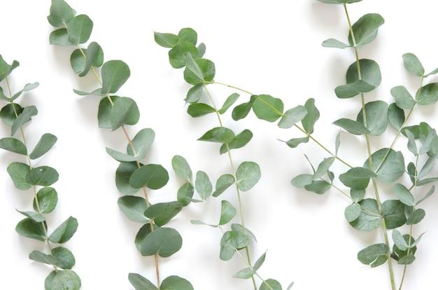 Folhas do eucalipto no fundo branco. Foto Premium