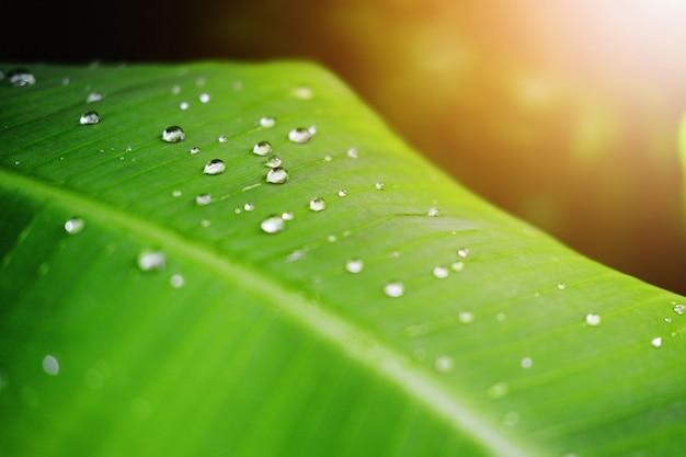 Folhas frescas de banana verde e gotas de orvalho de água com a luz do sol no jardim Foto Premium