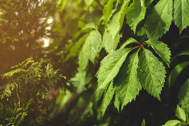 Folhas molhadas de uvas bravas. folhas verdes depois da chuva. Foto Premium