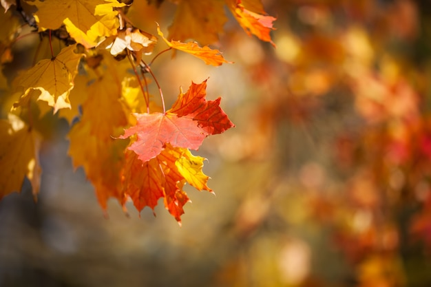 Folhas outonais, folhagem de bordo vermelho e amarelo contra floresta Foto Premium