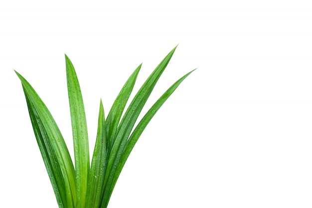 Folhas pandan verdes frescas com as gotas de água isoladas Foto Premium