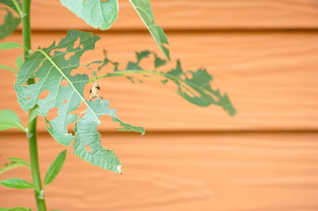Folhas verdes com furo de pragas ou verme comer Foto Premium
