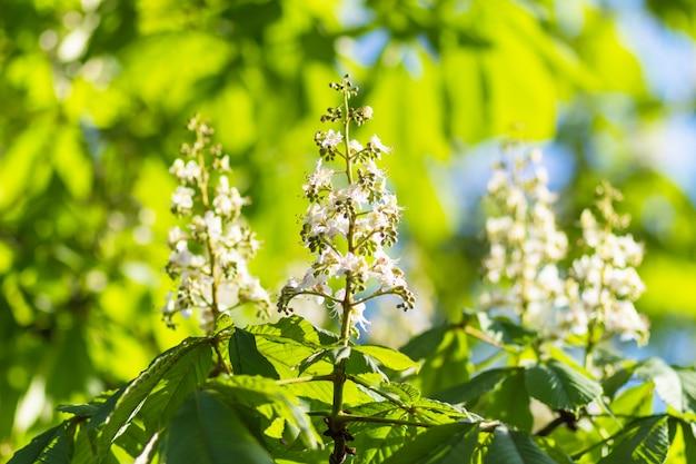 Folhas verdes jovens de castanha Foto Premium