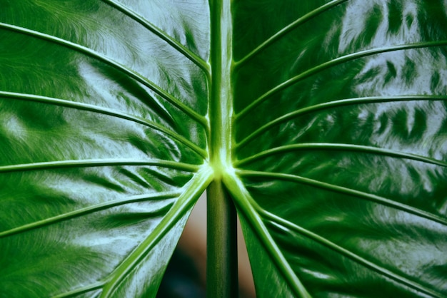Folhas verdes textura gigante taro araceae Foto Premium