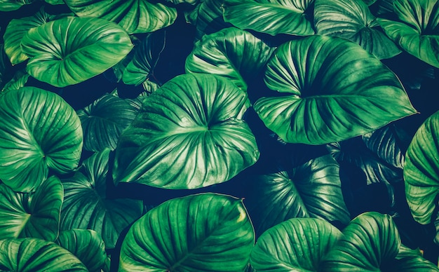 Folhas verdes tropicais, efeito de filtro verde escuro desbotado. Foto Premium
