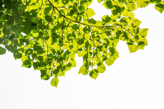 Folhas verdes Foto Premium