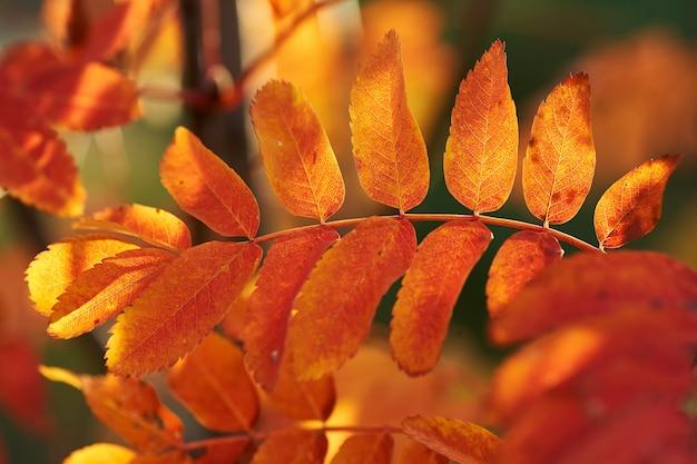 Folhas vermelhas amarelas da cinza de montanha no por do sol. Foto Premium